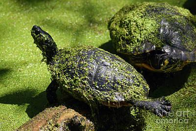 Turtle Yoga Art Print by William Tasker
