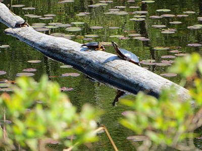 Photograph - Turtles At The Lake by Angela Hansen