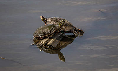 Photograph - Turtles In The Sun by Ray Congrove