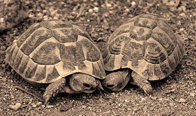 Art Print featuring the photograph Turtles Pair by Gina Dsgn