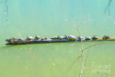 Photograph - Turtles  Sun Bathing  by Peggy Franz
