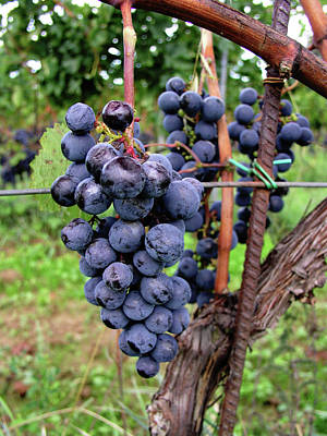 Photograph - Tuscan Grapes by Mary Capriole