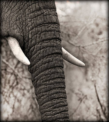 Photograph - Tusk by Roger Lever