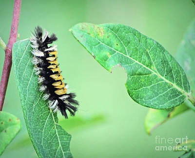 Photograph - Tussock Moth Caterpillar by Kerri Farley