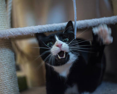Photograph - Tuxedo Cat Going Ballistic On A Shoelace by Toby McGuire