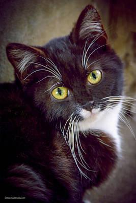 Photograph - Tuxedo Kitten by LeeAnn McLaneGoetz McLaneGoetzStudioLLCcom