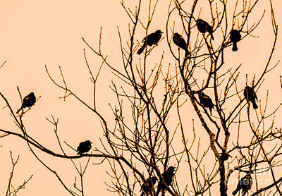 Photograph - Twelve Blackbirds by Amy Porter