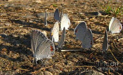 Donna Brown Photograph - Twelve Eastern Tailed Blue Butterflies by Donna Brown