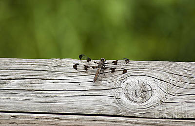 Photograph - Twelve Spotted-skimmer 20120703_213a by Tina Hopkins