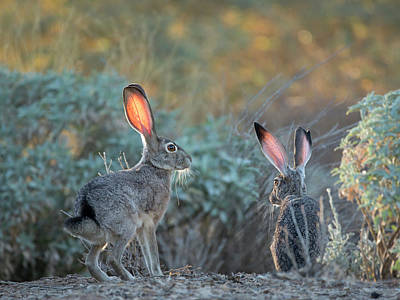 Photograph - Twilight Jackrabbits by Sue Cullumber