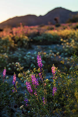 Photograph - Twilight Lupine by Laura Roberts