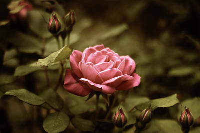 Photograph - Twilight Rose by Jessica Jenney