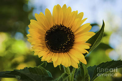 Photograph - Twilight Sunflower by Angela J Wright