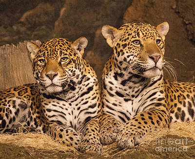 Photograph - Twin Cheetahs by Timothy Johnson