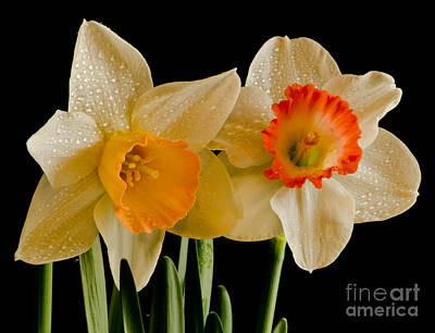 Bloosom Photograph - Twin Daffy's by Nick  Boren