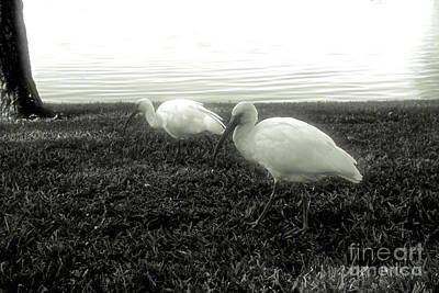 Photograph - Twin Egrets by Samiksa Art