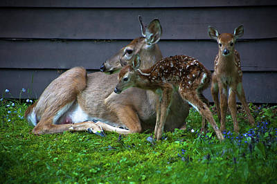 Twin Fawns Photograph - Twin Fawns by David Patterson