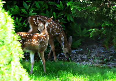 Photograph - Twin Fawns by Katie Wing Vigil