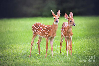 Twin Fawns Photograph - Twin Fawns  by Sharon McConnell