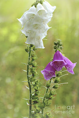 Photograph - Twin Foxgloves by Baggieoldboy