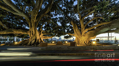 Photograph - Twin Giant Ficus  Cadiz Spain by Pablo Avanzini