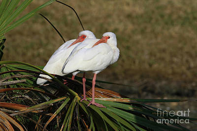 Photograph - Twin Ibis by Deborah Benoit