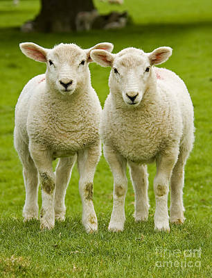 Sheep Photograph - Twin Lambs by Meirion Matthias
