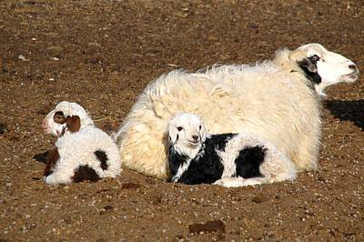 Twin Lambs Of The Gobi Art Print by Diane Height