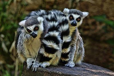 Photograph - Twin Lemurs by Judy Vincent
