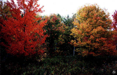 Photograph - Twin Maples Of A Different Color by Wayne King