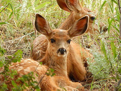 Photograph - Twin Mule Deer Fawns by Dan Miller