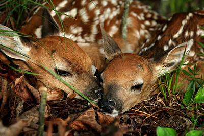 Twin Newborn Fawns Art Print