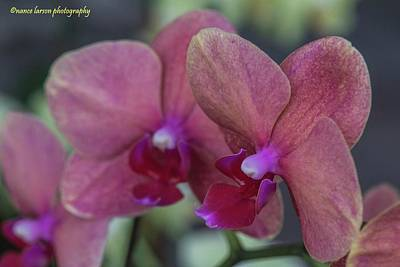 Photograph - Twin Orchids by Nance Larson