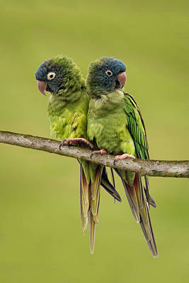 Photograph - Twin Parakeets by Dawn Currie
