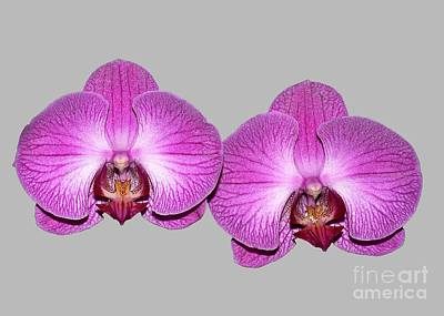 Photograph - Twin Phalaenopsis Orchids by Susan Wiedmann