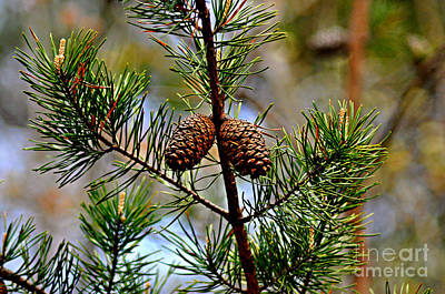 Photograph - Twin Pine Cones by Eric Liller