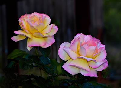 Twin Roses Art Print