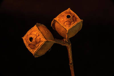 Photograph - Twin Seed Pods With Exit Holes by Douglas Barnett