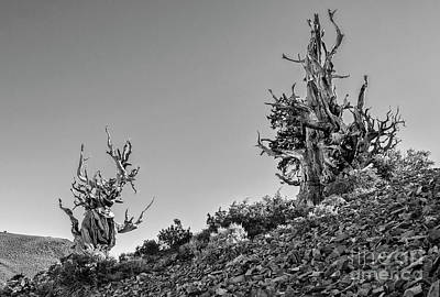 Oldest Living Tree Photograph - Twin Sentinels by Jamie Pham