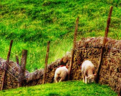 Photograph - Twin Sheep by Isabella F Abbie Shores