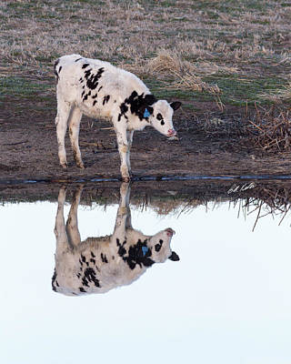 Photograph - Twin Spotted Calves by Bill Kesler