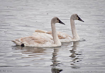 Photograph - Twin Swans by Kevin Munro
