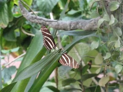 Photograph - Twin Butterfly Striped Synchronicity by Mozelle Beigel Martin