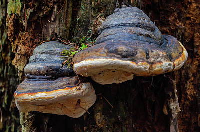 Photograph - Twin Tree Fungus by Tikvah's Hope