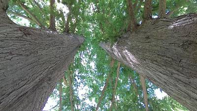 Photograph - Twin Trees by Liza Eckardt