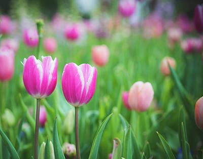 Photograph - Twin Tulips by Sonja Quintero