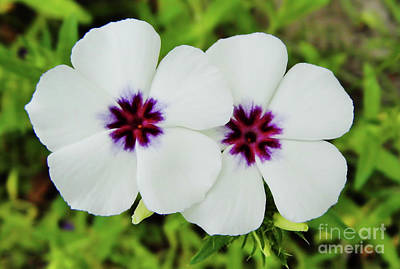 Photograph - Twin White Phlox by D Hackett
