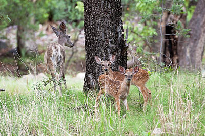 Twin Fawns Photograph - Twins by Angelina Cornidez