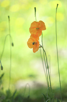 Photograph - Twins. Orange Poppies by Jenny Rainbow