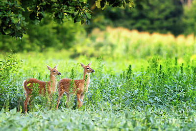 Twin Fawns Photograph - Twins by Todd Bielby